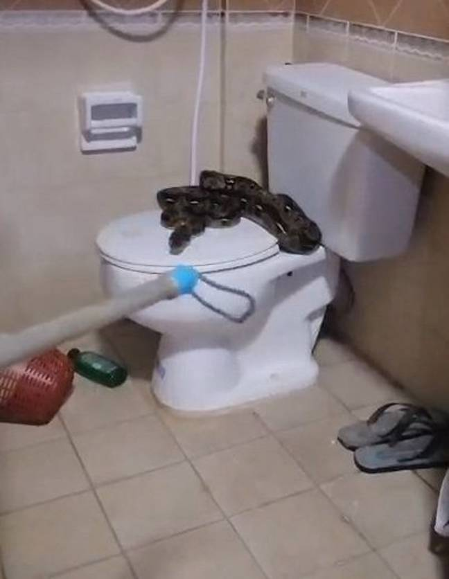 Rescue workers discovered the snake curled up on the toilet seat. Credit: Viral Press