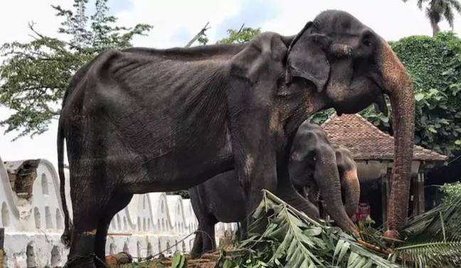 The charity says the animals are malnourished and shackled. Credit: Save Elephant Foundation/Lek Chailert