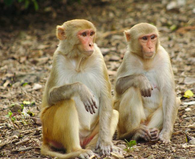 More than 2,400 rhesus macaques were infected with a strain of coronavirus. Credit: PA