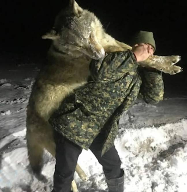 A huge wolf has been shot dead in Russia. Credit: Newsflash