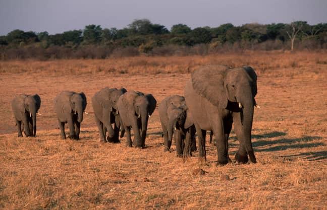 Elephants. Credit: PA