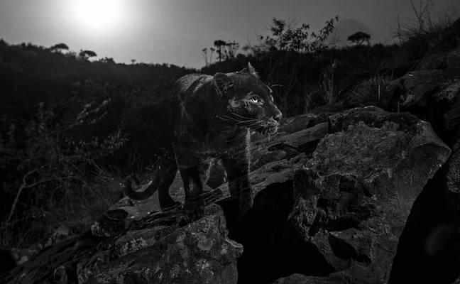 The pictures are the first of a black leopard in Africa in almost 100 years. Credit: Will Burrard-Lucas