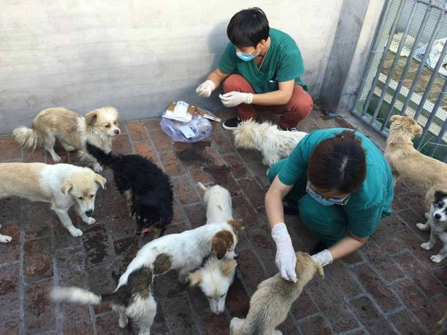 Vets treating the rescued puppies. Credit: Humane Society International