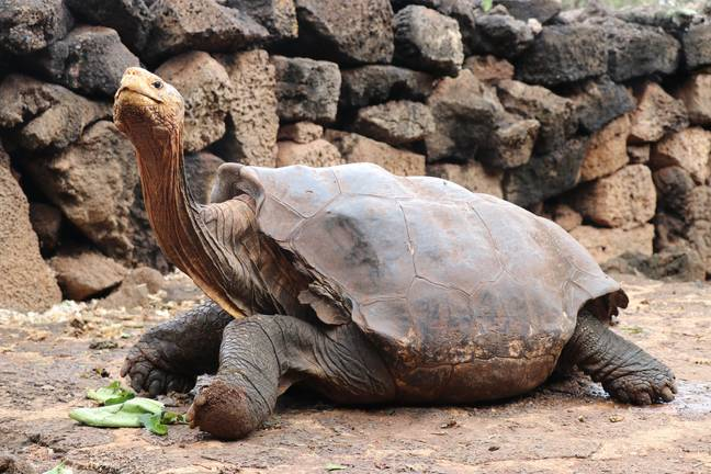 Diego has become a pin-up for the conservation scheme. Credit: Galapagos National Park