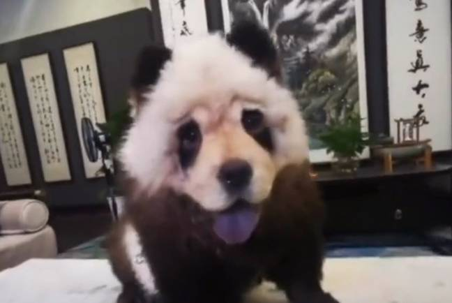 Mei Niu is a dyed dog - not a panda. Credit: Newsflare