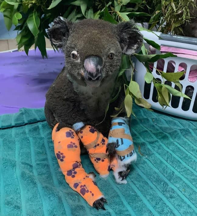 Credit: Port Macquarie Koala Hospital/Facebook