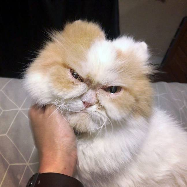 Louis is a six-year-old Persian cat. Credit: Caters/@louisandmonae