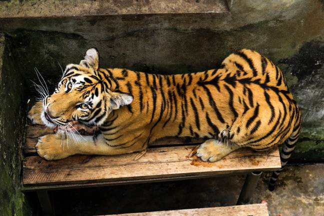 Wild tiger populations have dropped dramatically over the past century. Credit: PA