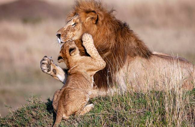 Anyone else wanna cuddle a big friendly lion? Credit: Caters