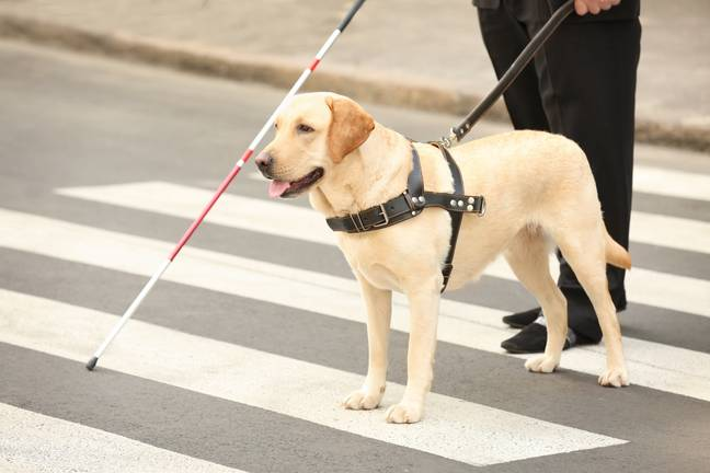 Stock image of guide dog. Credit: Africa Studio via Shutterstock