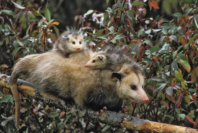 Opossums normally have thick fur to keep them warm. Credit: PA