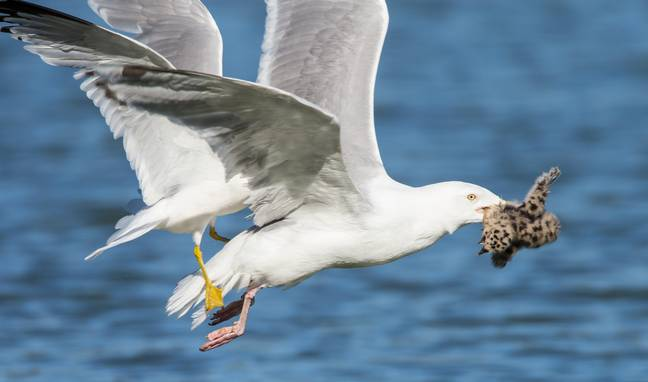 Mr Whitehead says a herring gull is the most likely culprit for the dognapping. Credit: PA