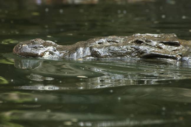 A river crocodile in Mexico. Credit: PA