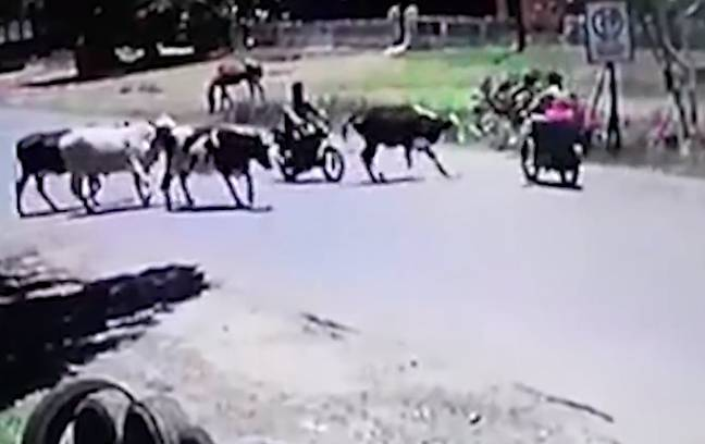 The cow ran away from the scene after the attack. Credit: CEN