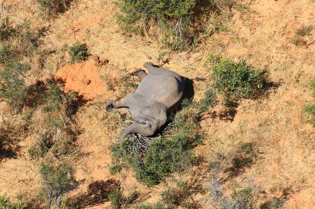 An investigation has been launched into the cause of death for 11 elephants in Zimbabwe. Credit: Shutterstock