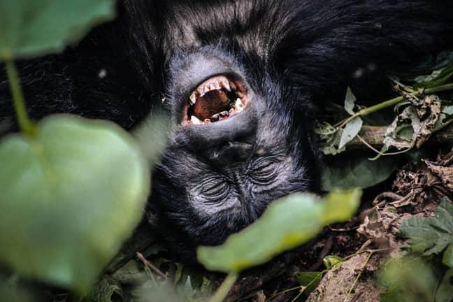 A female mountain gorilla at the Bwindi Impenetrable National Park. Credit: PA