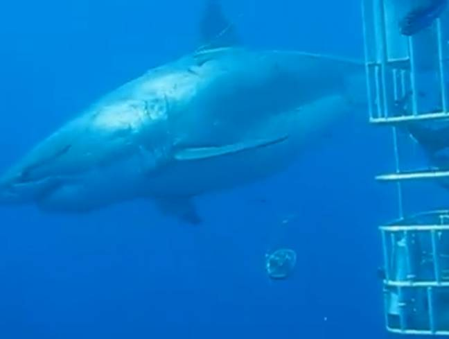 Deep Blue was spotted in Mexico around four years ago. Credit: Mauricio Hoyos Padilla