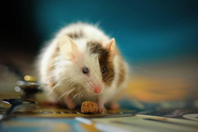 David Attenborough is afraid of rats ' Credit: Unsplash/Sandy Millar