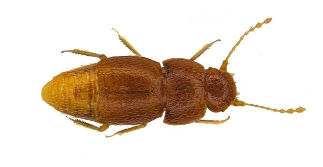 Greta has also been named after a new species of beetle. Credit: Natural History Museum