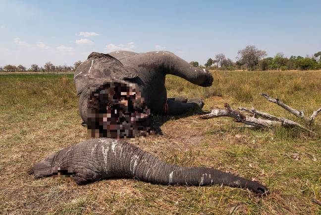 This comes a month after the country's government lifted the ban on poaching. Credit: Magnus News/Justin Sullivan