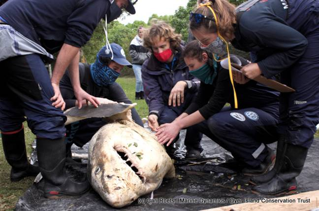 A shark carcass discovered earlier this year, believed to have been killed by orcas. Credit: Cari Roets/Marine Dynamics/Dyer Island Conservation Trust