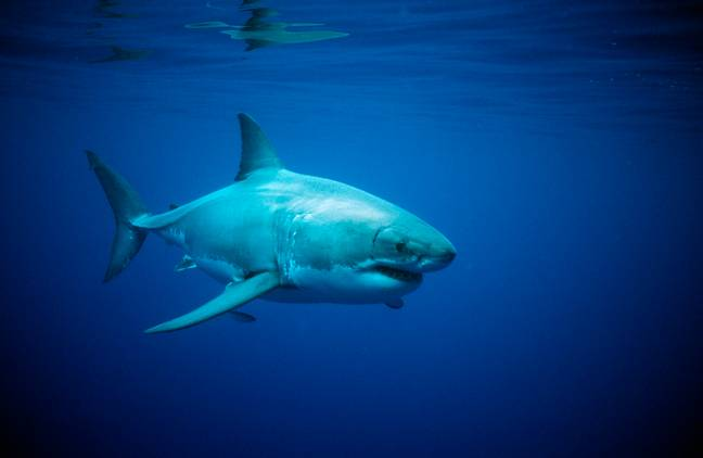 Great white shark - Look at this absolute unit. Credit: PA