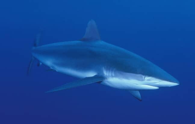 Stock image of a bull shark. Credit: PA