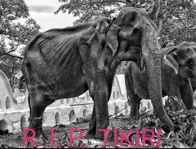 Tikiri passed away today. Credit: Save Elephant Foundation