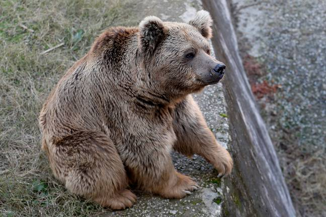 The bears are to be taken to Jordan. Credit: PA