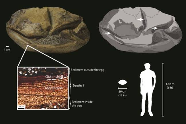 The study revealed that it's most likely an egg. Credit: Dr Legendre et al