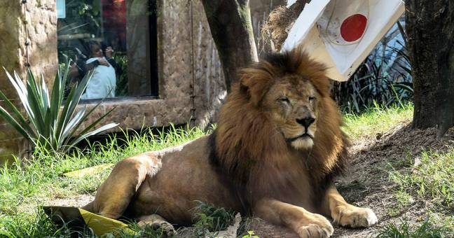 This lion was NOT impressed. Credit: Mainichi News Group