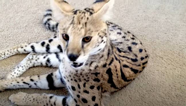 A Savannah cat - the type the couple thought they were buying. Credit: Newsflash