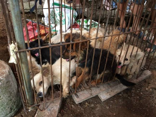 Dogs being kept at the Yulin dog meat festival. Credit: Humane Society International