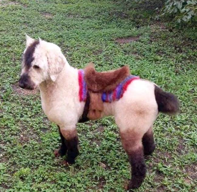 Little Bijou as a horse, complete with saddle. Credit: Caters