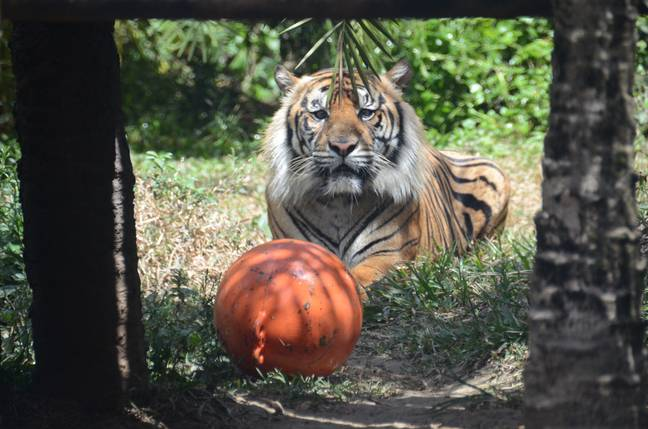 A Sumatran tiger at another Indonesian zoo. Credit: PA