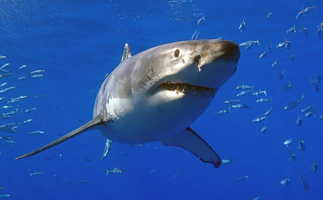 Stock image of a Great White Shark. Credit: PA