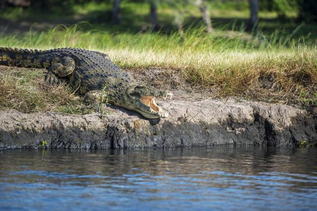 This isn't Gustave. Pics of the actual croc are pretty scarce. Credit: PA
