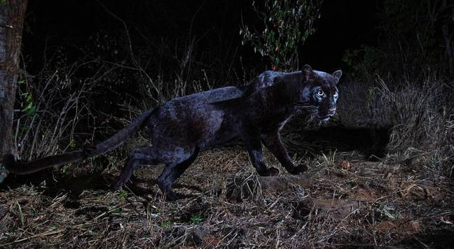 The black leopard is also referred to as a black panther. Credit: Will Burrard-Lucas