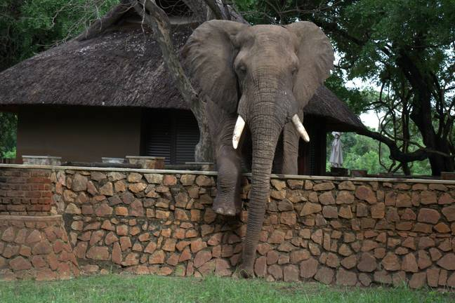 The elephant was trying to get some mangoes. Credit: Kennedy News and Media/The Bushcamp Company