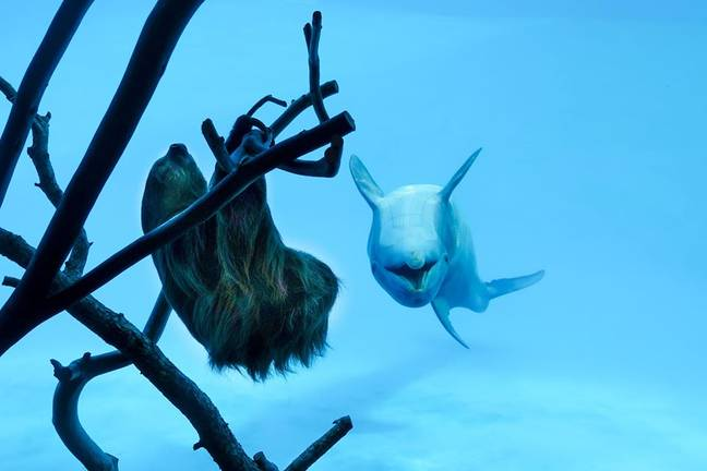 The dolphins could be seen flipping upside down in excitement (Credit: Texas State Aquarium)