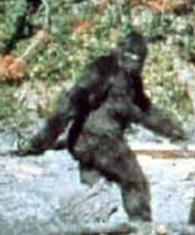 There have been numerous hoaxes of people claiming to have seen Bigfoot. Credit: Patterson-Gimlin