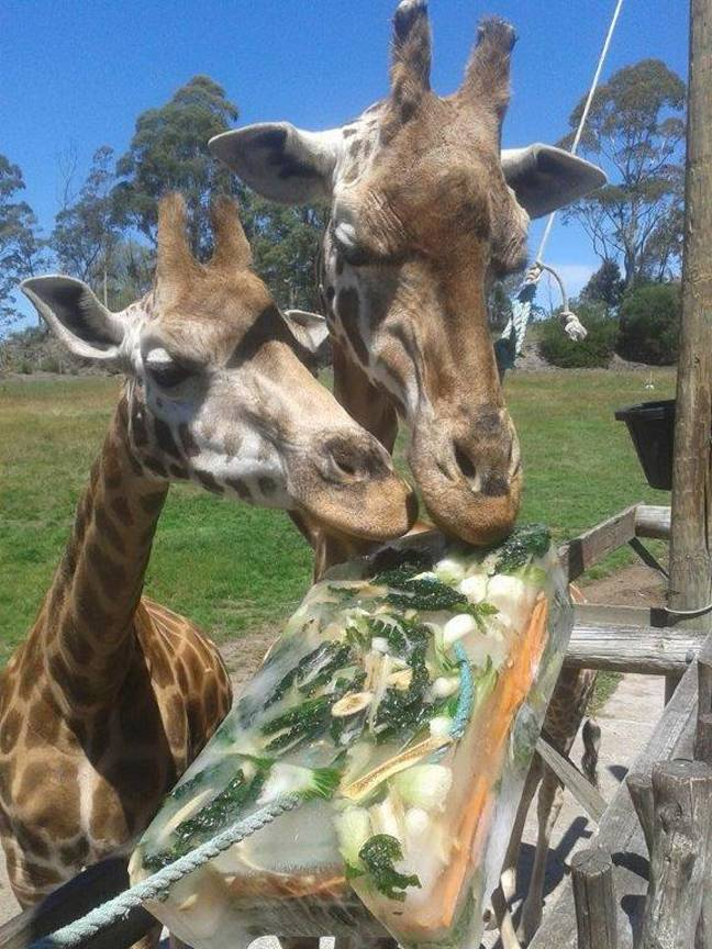 Giraffes haven't missed their two appointments every day. Credit: Orana Wildlife Park/Facebook