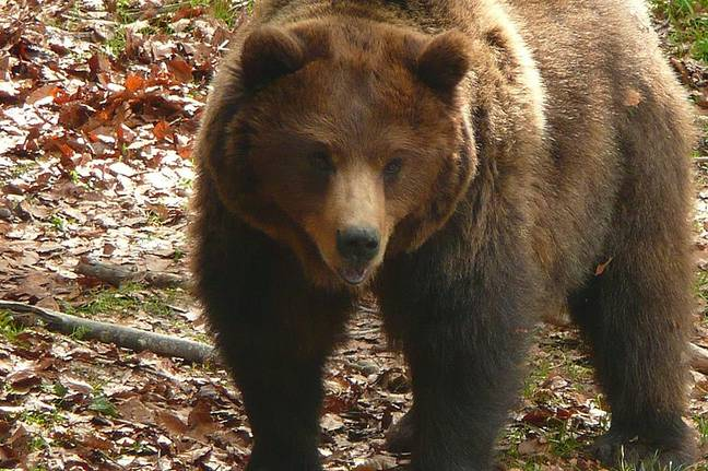 Brown bear spotted in Province of Trento, Italy. Credit: Alessandro Gigliotti (Creative Commons)