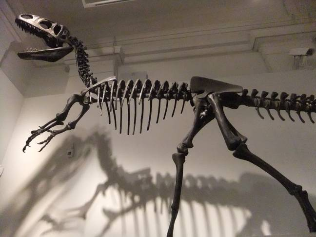 A Neovenator skeleton. Credit: Creative Commons