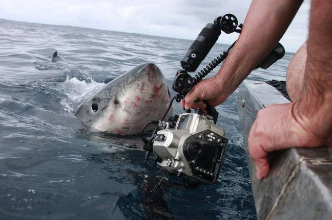 Mr Thom wasn't afraid to get up close and personal with the Great White. Credit: Media Drum World