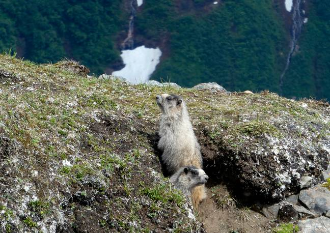 People are being urged to report sightings of ill or dead marmots. Credit: PA