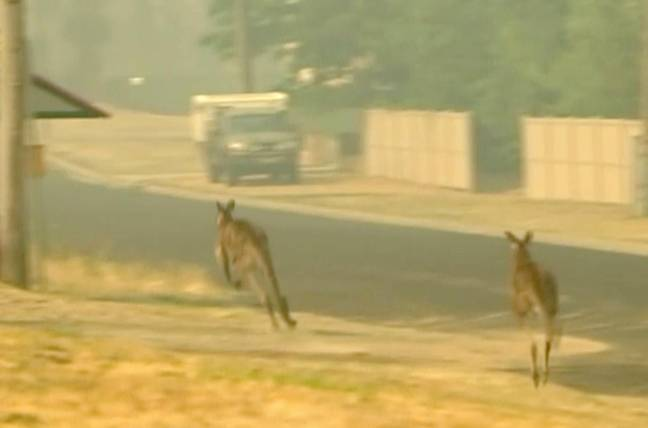 Kangaroos on the move as properties burn in a fire in Lithgow, New South Wales. Credit: PA
