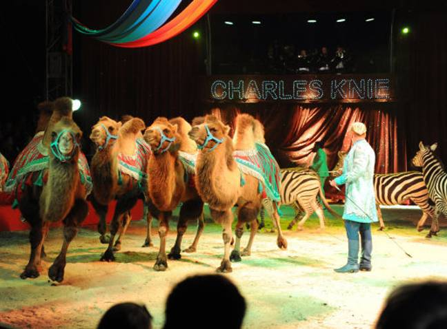 Camels are one of the animals that are still used in circuses in Britain. Credit: PA