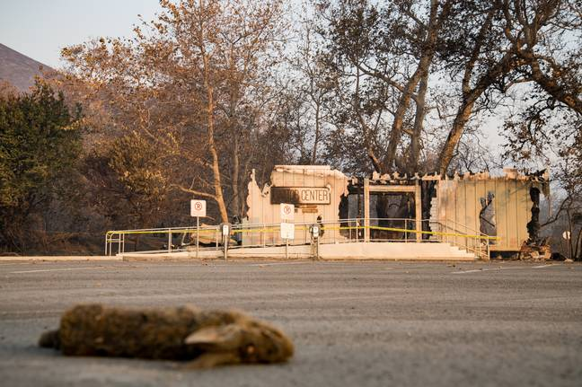 A scorched rabbit lays by a visitor center burnt down by the Woolsey Fire in Malibu, California. Credit: PA