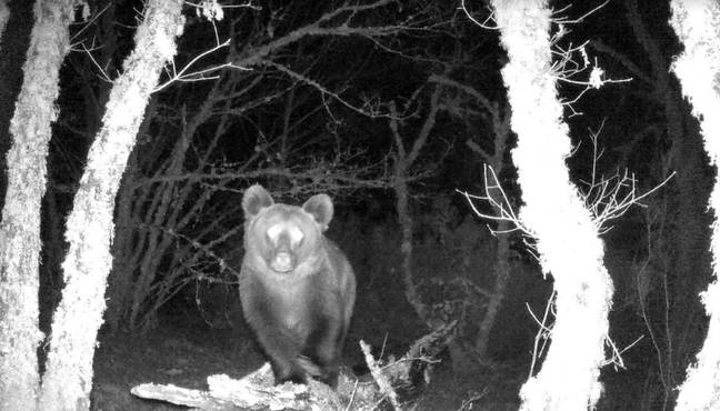 The bear is believed to be the first to live in the area for 150 years. Credit: Montaña ou Morte/Zeitun Films